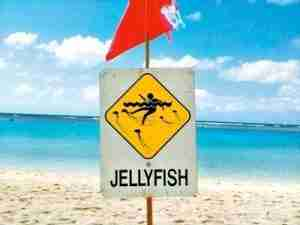 jellyfish in hawaii | Safe Sea